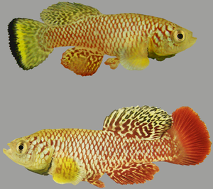 Two adult male turquoise killifish (Nothobranchius furzeri) of the yellow morph (above) and red morph (below) variety