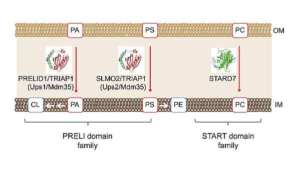 Figure 2. Lipid transfer proteins of the Ups1/PRELI- and STAR-family mediate lipid shuttling between mitochondrial membranes